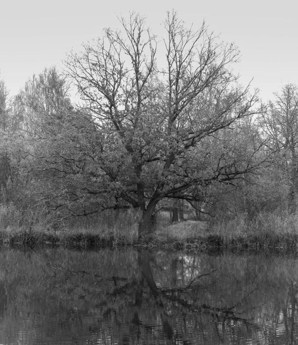 photoblog image Ek - Oak (Quercus)