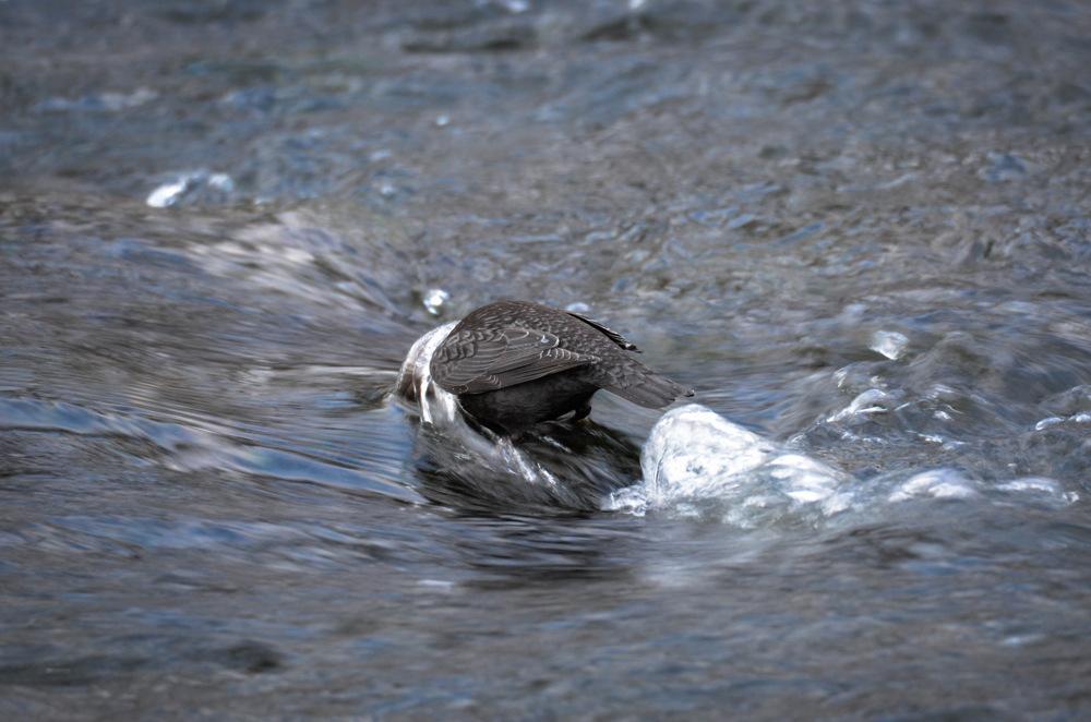 photoblog image Strömstare - White-throated dipper (Cinclus cinclus)