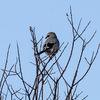 Varfågel - Great grey shrike (Lanius excubitor)