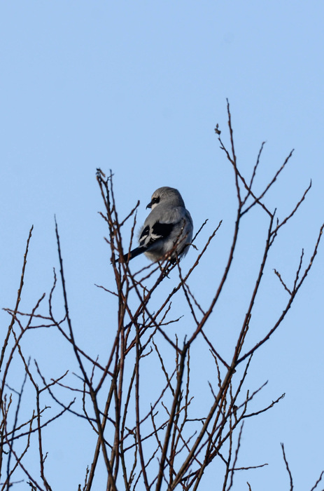 photoblog image Varfågel - Great grey shrike (Lanius excubitor)