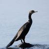 Storskarv - Great Cormorant (Phalacrocorax carbo)