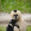 Vitkindad gibbon - Northern White-cheeked Gibbon