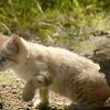 Sandkatt - Sand cat (Felis margarita)