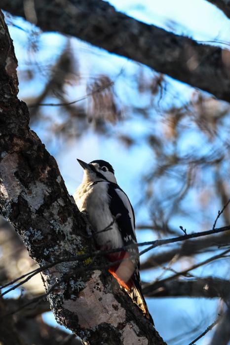photoblog image Större hackspett - Great spotted woodpecker