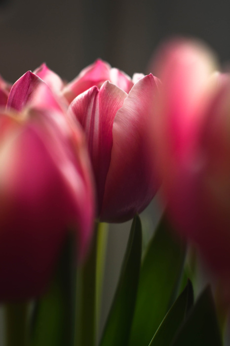 photoblog image Tulpan - Tulip (Tulipa)