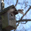 Pilfink - Eurasian tree sparrow (Passer montanus)