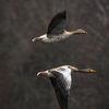 Grågås - Greylag goose (Anser anser)