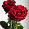 Rosor - Roses (Rosa)