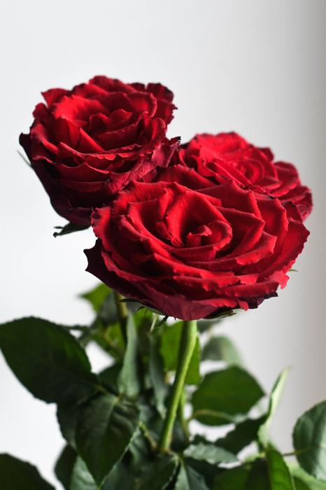 photoblog image Rosor - Roses (Rosa)