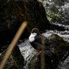 Strömstare - White-throated dipper (Cinclus cinclus)