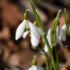 Snödroppe - Snowdrop (Galanthus nivalis)