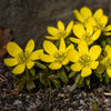 Vintergäck - Winter aconite (Eranthis hyemalis)