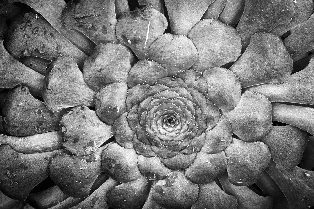 photoblog image Aeonium glandulosum
