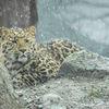Amur leopard - Amurleopard (Panthera pardus orientalis)