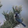 Blåmes - Blue tit (Cyanistes caeruleus)
