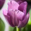 Tulpan - Tulip (Tulipa)