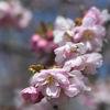 Körsbärsblommor - Cherry blossom