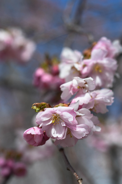 photoblog image Körsbärsblommor - Cherry blossom