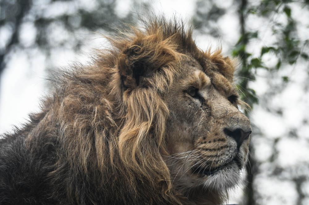 photoblog image Asiatiskt lejon - Asiatic lion (Panthera leo persica)