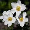 Tovsippa - Snowdrop Anemone (Anemone sylvestris)