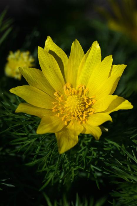 photoblog image Adonis vernalis