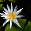 Egyptisk blålotus - Blue lotus (Nymphaea caerulea)