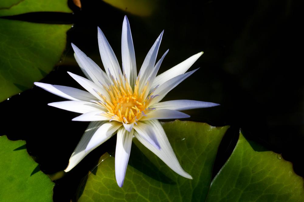 photoblog image Egyptisk blålotus - Blue lotus (Nymphaea caerulea)