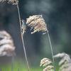 Sävsångare -Sedge warbler(Acrocephalus schoenobaenus)