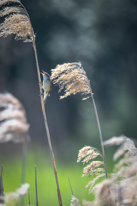 photoblog image Sävsångare -Sedge warbler(Acrocephalus schoenobaenus)