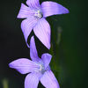 "Ã""ngsklocka - Spreading bellflower (Campanula patula)"