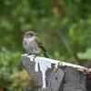 Grå flugsnappare -Spotted flycatcher(Muscicapa striata