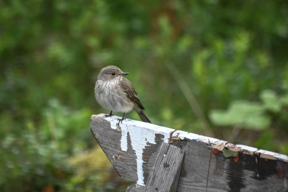 photoblog image Grå flugsnappare -Spotted flycatcher(Muscicapa striata