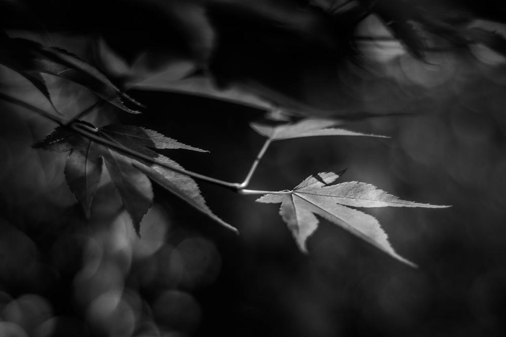 photoblog image Acer palmatum