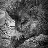 Visayavårtsvin - Visayan warty pig (Sus cebifrons)