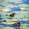 Andungar - Ducklings