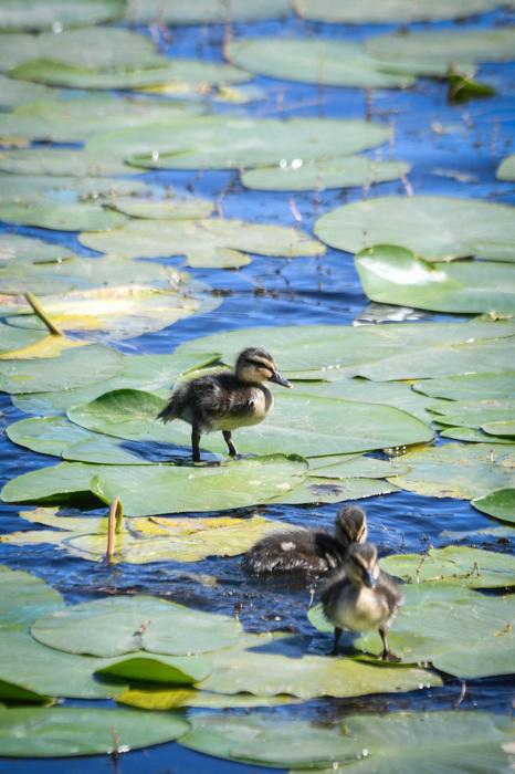 photoblog image Andungar - Ducklings
