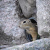 Sisel - European ground squirrel(Spermophilus citellus)