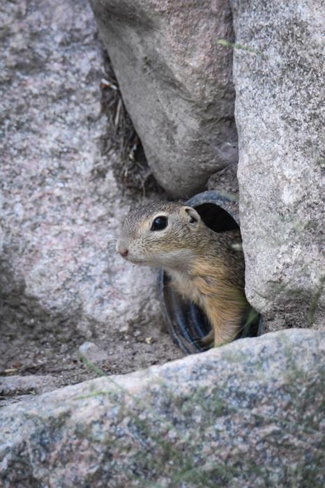 photoblog image Sisel - European ground squirrel(Spermophilus citellus)