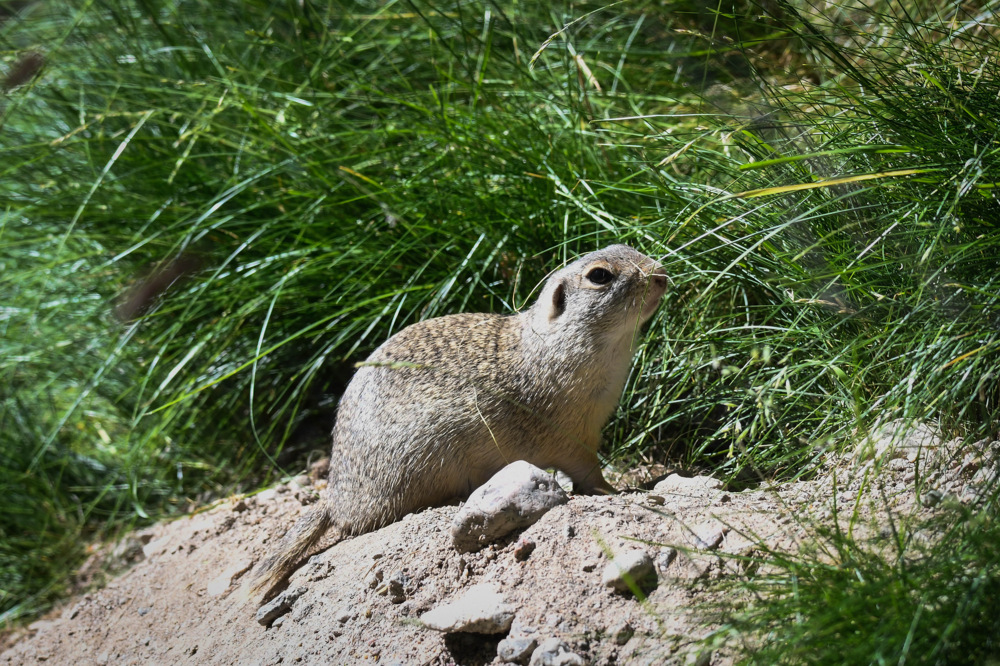 photoblog image Sisel - European ground squirrel(Spermophilus citellus)