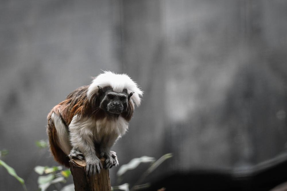 photoblog image Bomullshuvudtamarin - Cotton-top tamarin