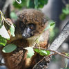 Rödbuka lemur - Red-bellied Lemur (Eulemur rubriventer