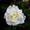 Ros - Rose 'Irene of Denmark' (Rosa)