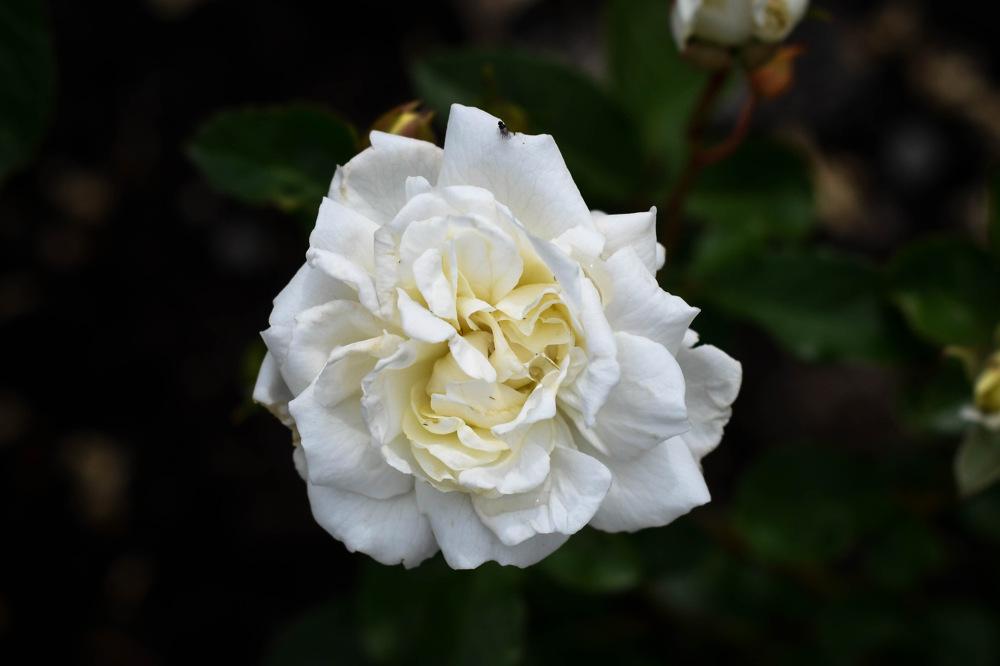 photoblog image Ros - Rose 'Irene of Denmark' (Rosa)