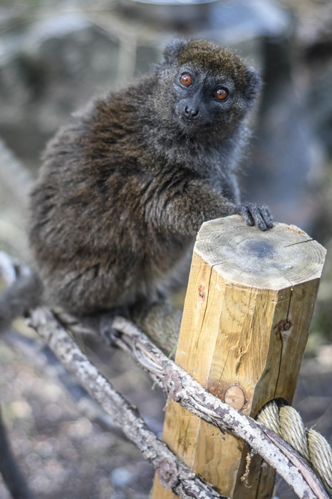 photoblog image Aloatranlemur - Alaotran Gentle Lemur