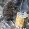 Aloatranlemur - Alaotran Gentle Lemur