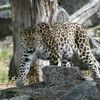 Amurleopard - Amur leopard (Panthera pardus orientalis)