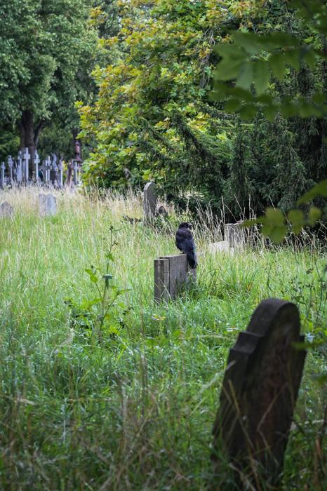 photoblog image Svartkråka -  Carrion crow (Corvus corone)
