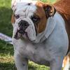 Engelsk bulldog - English Bulldog