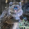 Alaotralemur - Alaotran gentle lemur
