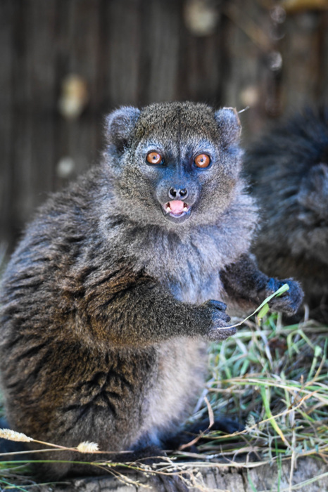photoblog image Alaotralemur - Alaotran gentle lemur